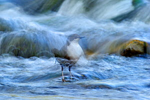 Dipper (Cinclus cinclus) perched on rock in river, long exposure, Brecon Beacons NP, Wales, UK, May - Andy Rouse / 2020VISION