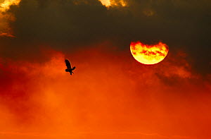 Silhouette of Short-eared owl (Asio flammeus) in flight at dusk, Lincolnshire, UK, March. Did you know? Short eared owls often hunt by day and although their name derives from tufts of feathers on the... - Ben Hall / 2020VISION