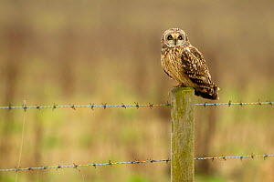 Short-eared owl (Asio flammeus) perched on fence post, Lincolnshire, UK, March - Ben Hall / 2020VISION