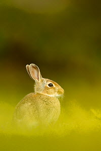 Young European rabbit (Oryctolagus cuniculus) sitting in long grass, Murlough Nature Reserve, Co Down, Northern Ireland, UK, June  -  Ben Hall / 2020VISION