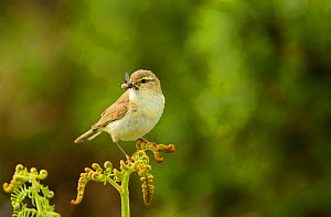 Willow warbler (Phylloscopus trochilus) perched on fern with prey in beak, Murlough Nature Reserve, Co Down, Northern Ireland, UK, June - Ben Hall / 2020VISION