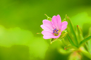Cranesbill geranium (Geranium sp) flower, Montiagh's Moss, County Antrim, Northern Ireland, UK, June. Did you know? Geraniums are known as Cranesbills due to the shape of the fruit capsule.  -  Ben Hall / 2020VISION