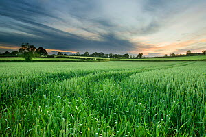 Farmland with wheat crop, Northern Ireland, UK, June 2011  -  Ben Hall / 2020VISION