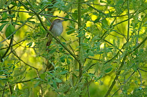 Common nightingale (Luscinia megarhynchos) adult perched in willow, Cambridgeshire, UK, May  -  Chris Gomersall / 2020VISION
