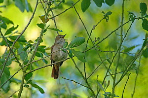 Common nightingale (Luscinia megarhynchos) adult perched, singing, Cambridgeshire, UK, May - Chris Gomersall / 2020VISION