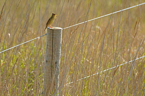 Grasshopper warbler (Locustella naevia) adult perched on fence post, singing in reedbed, Norfolk, UK, May  -  Chris Gomersall / 2020VISION