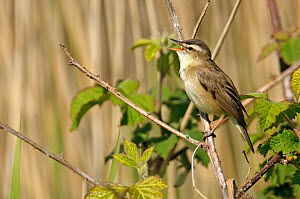 Sedge warbler (Acrocephalus schoenobaenus) adult perched, singing, Norfolk, UK, May  -  Chris Gomersall / 2020VISION