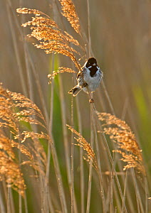 Reed bunting (Emberiza schoeniclus) adult male perched in reedbed, Norfolk, UK, May. 2020VISION Book Plate. - Chris Gomersall / 2020VISION