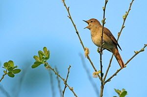 Common nightingale (Luscinia megarhynchos) adult perched, singing, Cambridgeshire, UK, April - Chris Gomersall / 2020VISION