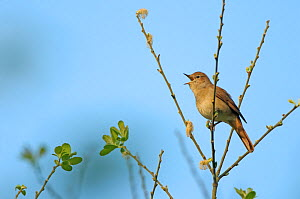 Common nightingale (Luscinia megarhynchos) adult perched, singing, Cambridgeshire, UK, April. Photographer quote: 'Nightingales are more renowned for the beauty of their song than their looks. You are... - Chris Gomersall / 2020VISION