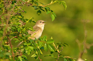 Garden warbler (Sylvia borin) adult perched, singing in hedgerow, Paxton Pit reserve, Cambridgeshire, UK, April  -  Chris Gomersall / 2020VISION