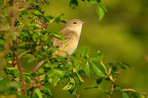 Garden warbler (Sylvia borin) adult perched in hedgerow, Paxton Pit reserve, Cambridgeshire, UK, April  -  Chris Gomersall / 2020VISION