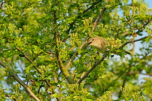 Garden warbler (Sylvia borin) adult perched in hawthorn tree, singing, Paxton Pit reserve, Cambridgeshire, UK, April  -  Chris Gomersall / 2020VISION