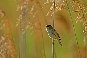 Sedge warbler (Acrocephalus schoenobaenus) adult singing in reedbed, Cambridgeshire, UK, May  -  Chris Gomersall / 2020VISION