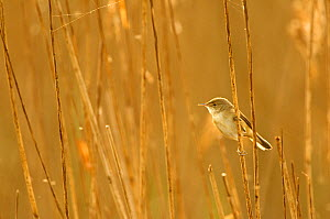Reed warbler (Acrocephalus scirpaceus) adult perched in reedbed, Titchwell RSPB reserve, Norfolk, UK, April.  -  Chris Gomersall / 2020VISION
