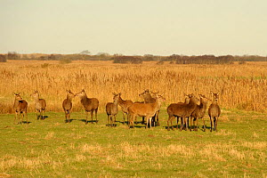 Herd of Red deer (Cervus elephas) hinds on marshes near Hickling Broad, Norfolk, UK, March 2011 - Chris Gomersall / 2020VISION
