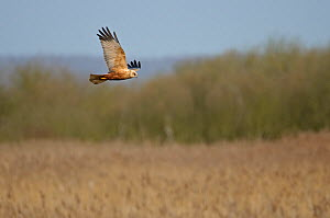 Marsh harrier (Circus aeruginosus) adult male in flight over reedbed at Woodwalton Fen NNR, Cambridgeshire, UK, March. - Chris Gomersall / 2020VISION