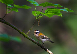 Firecrest (Regulus ignicapillus) male singing, Norfolk, UK, April. Did you know? Along with the goldcrest, the firecrest is Britain�s smallest bird.  -  David Tipling / 2020VISION