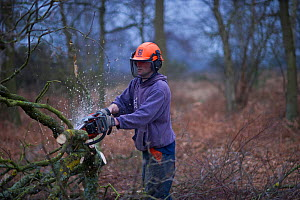 Warden using chain saw to cut birch and clear it from area for heather regeneration, Minsmere RSPB Reserve, Sandlings heath, Suffolk, UK, February 2011, model released  -  David Tipling / 2020VISION