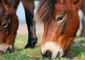 Exmoor Pony (Equus caballus) grazing, the ponies are used to manage grassland on the Sandlings heath, Suffolk, UK, February 2011. Photographer quote: 'These Exmoor ponies are used to replicate the gra...  -  David Tipling / 2020VISION