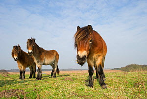 Exmoor Ponies (Equus caballus), the ponies are used to manage grassland on the Sandlings heath, Suffolk, UK, February 2011  -  David Tipling / 2020VISION