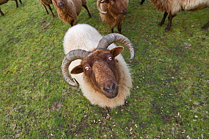 Manx Loaghtan Sheep (Ovis aries) used for grazing on unimproved grassland on Minsmere RSPB Reserve, habitat for breeding Stone Curlews, Suffolk Sandlings, Suffolk, UK, February 2011 - David Tipling / 2020VISION