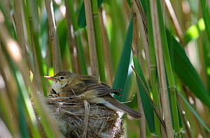 Cuckoo (Cuculus canorus) 12 day chick in Reed Warbler nest (Acrocephalus scirpaceus) on Fenland, Norfolk, UK, May - David Tipling / 2020VISION