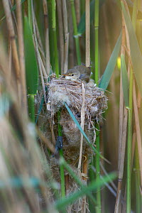 Reed Warbler (Acrocephalus scirpaceus) on nest with 12 day chick Cuckoo (Cuculus canorus), Fenland, Norfolk, UK, May - David Tipling / 2020VISION