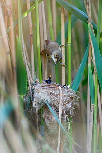 Reed Warbler (Acrocephalus scirpaceus) returns to nest to feed 12 day Cuckoo chick (Cuculus canorus), Fenland, Norfolk, UK, May - David Tipling / 2020VISION