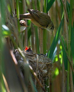 Reed Warbler (Acrocephalus scirpaceus) pair at nest feeding 12 day Cuckoo chick (Cuculus canorus), Fenland, Norfolk, UK, May - David Tipling / 2020VISION