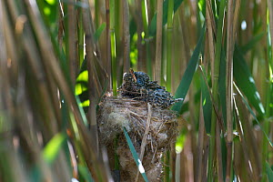 Cuckoo (Cuculus canorus) 12 day chick in Reed Warbler nest (Acrocephalus scirpaceus), Fenland, Norfolk, UK, May - David Tipling / 2020VISION