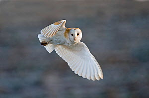 Barn Owl (Tyto alba) female hunting over grazing marsh, Burnham Overy, Norfolk, UK, February. Did you know? During flight, the left ear of the barn owl captures sounds below while the right ear focuse... - David Tipling / 2020VISION