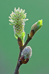 Pussy willow catkin (Salix caprea) bursting out from bud, Somerset Levels, Somerset, England, UK, April  -  Guy Edwardes / 2020VISION