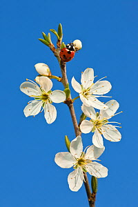 Ladybird on Blackthorn (Prunus spinosa) blossom, Somerset Levels, Somerset, England, UK, April  -  Guy Edwardes / 2020VISION
