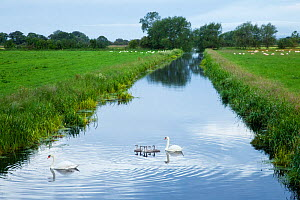 Mute swans (Cygnus olor) and cygnets on rhyne, King's Sedgemoor, Somerset Levels, Somerset, England, UK, June 2011 - Guy Edwardes / 2020VISION