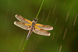Four-spotted chaser dragonfly (Libellula quadrimaculata) in rain, Westhay SWT reserve, Somerset Levels, England, UK, June. Photographer quote: 'Photographing in wet conditions can often result in inte...  -  Guy Edwardes / 2020VISION