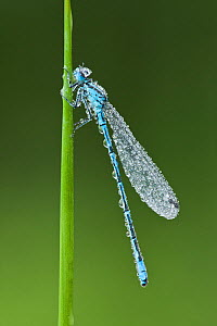 Azure damselfly (Coenagrion puella), Westhay SWT reserve, Somerset Levels, England, UK, June  -  Guy Edwardes / 2020VISION