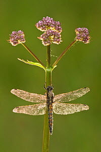 Black-tailed skimmer dragonfly (Orthetrum cancellatum), Westhay SWT reserve, Somerset Levels, England, UK  -  Guy Edwardes / 2020VISION
