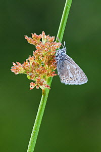 Common blue butterfly (Polyommatus icarus) resting on soft rush (Juncus effusus). Westhay SWT reserve, Somerset Levels, England, UK, June  -  Guy Edwardes / 2020VISION