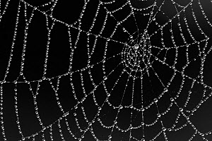Spider's web covered in dew, Westhay SWT reserve, Somerset Levels, England, UK, June  -  Guy Edwardes / 2020VISION