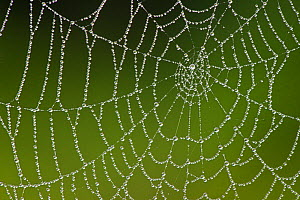 Spider's web covered in dew, Westhay SWT reserve, Somerset Levels, England, UK, June. Photographer quote 'Always an appealing subject, but only on rare occassions is the air still enough to allow clos...  -  Guy Edwardes / 2020VISION