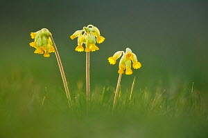 Cowslip flowers (Primula veris), Catcott SWT reserve, Somerset Levels, England, UK, April. Photographer quote: 'Finding a perfect group of cowslips takes time, as does washing all your clothes when yo...  -  Guy Edwardes / 2020VISION