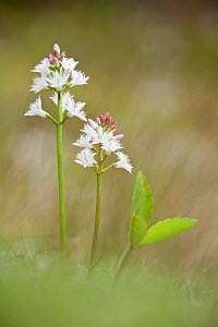 Bogbean / Buckbean (Menyanthes trifoliata), Westhay SWT reserve, Somerset Levels, England, UK, April  -  Guy Edwardes / 2020VISION