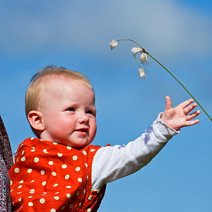Child reaching for Cotton grass (Eriophorum angustifolium), Westhay SWT reserve, Somerset Levels, England, UK, June 2011 Model released  -  Guy Edwardes / 2020VISION