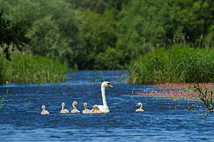 Mute swan (Cygnus olor) and cygnets on water, Westhay Moor SWT reserve, Somerset Levels, Somerset, England, UK, JUne 2011  -  Guy Edwardes / 2020VISION