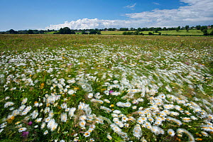 Wildflower meadow with Ox-eye daisies on Aller Moor, Wedmore, Somerset Levels, Somerset, England, UK, June 2011 - Guy Edwardes / 2020VISION