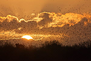 A large flock (murmuration) of Starlings (Sturnus vulgaris) coming in to roost at Shapwick, Somerset Levels, Somerset, England, UK, February 2011 - Guy Edwardes / 2020VISION