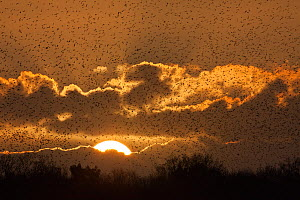 Starlings (Sturnus vulgaris) coming in to roost at Shapwick, Somerset Levels, Somerset, England, UK. Photographer quote: 'Several million starlings roost on the Somerset Levels during the winter month... - Guy Edwardes / 2020VISION