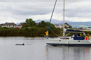 Yacht entering Inverness Marina with Bottlenose dolphin (Tursiops truncatus) bow riding. Moray Firth, Inverness-shire, Scotland, UK, August 2011  -  John MacPherson / 2020VISION