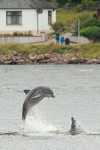 Bottlenose dolphin (Tursiops truncatus) breaching in Kessock Narrows, viewed from Inverness Marina, Inverness-shire, Moray Firth, Scotland, UK, August 2011, sequence 1/3  -  John MacPherson / 2020VISION